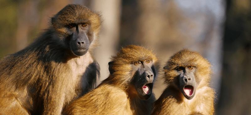 Los monos en la jaula