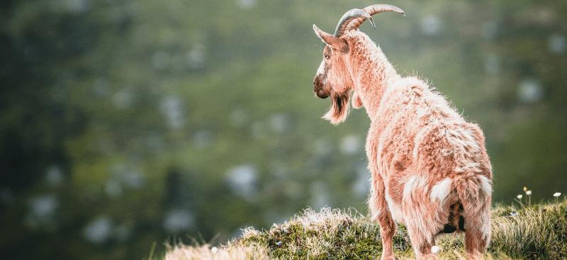 La cabra y el sendero maldito